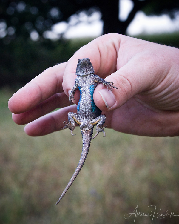 Blue-belly lizard