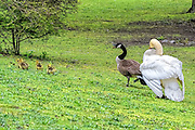 Mute swan cob chasing a Canada goose and goslings