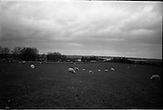06-10/04/1964.04/06-10/1964.06-10 April 1964.Views on the River Shannon. Spring grazing on the banks of the river Shannon near Shannonbridge, Co. Offaly.