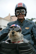 28th July 2009. La Jolla, California. 'Ruff Rider'. In a recent study, researchers found there is a little bit of truth in the theory that owners look like their dogs. One Southern Californian takes it a step further by dressing the same as his pooch. Vintage motorcycle enthusiast, Ken Wagner (68) was seen riding his '68 Norton Atlas with his Yorkie Terrier wearing matching helmets and goggles. 11-year-old Mr Beezer (nickname for a 1958 BSA motorbike), has over 150,000 miles under his belt, riding on his owners gas tank..PHOTO © JOHN CHAPPLE / www.chapple.biz.tel +1 310 570 9100    john@chapple.biz