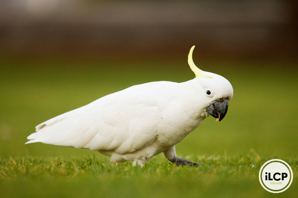 Sulphur-crested Cockatoo (Cacatua galerita) male feeding on grass seeds, Royal Botanic Gardens, Sydney, New South Wales, Australia