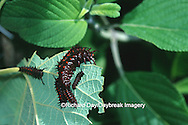 03004-00512 Pipevine Swallowtail (Battus philenor) caterpillars on Dutchman's Pipevine (Aristolochia macrophylla) Marion Co.  IL