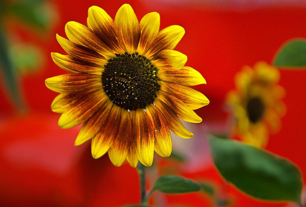 Sunflower, Santa Fe, NM.