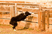 "05 JUNE 2011 - GREER, AZ: A border collie helps push sheep through the pens at the Sheep Springs Sheep Co summer shearing camp Sunday. Mark Pedersen (CQ), of Sheep Springs Sheep Co, said they drove about 2,000 sheep from Chandler up to their summer pastures near Greer. They were supposed to start shearing on Friday, but didn't start till Friday because of the Wallow Fire. They also run cattle on land southeast of the sheep pasture, closer to Greer. Pedersen said they were prepared to move both the cattle and the sheep if they had to. He said the biggest problem with the smoke was that it bothered the sheeps' lungs much the same way it bother people's lungs. The fire grew to more than 180,000 acres by Sunday with zero containment. A ""Type I"" incident command team has taken command of the fire.  PHOTO BY JACK KURTZ"