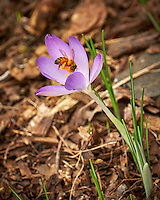 First Hint of Spring -- Early crocus flower with a honey bee across the street. Winter nature in New Jersey. Image taken with a Fuji X-T2 camera and 100-400 mm OIS lens (ISO 200, 235 mm, f/5.6, 1/125 sec)