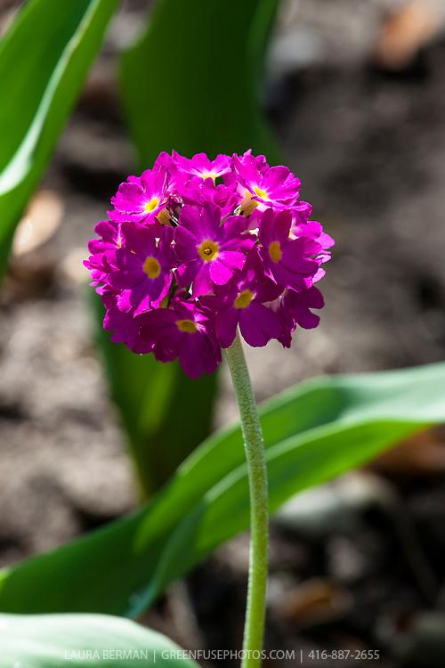 Drumstick primrose (Primula denticulata).