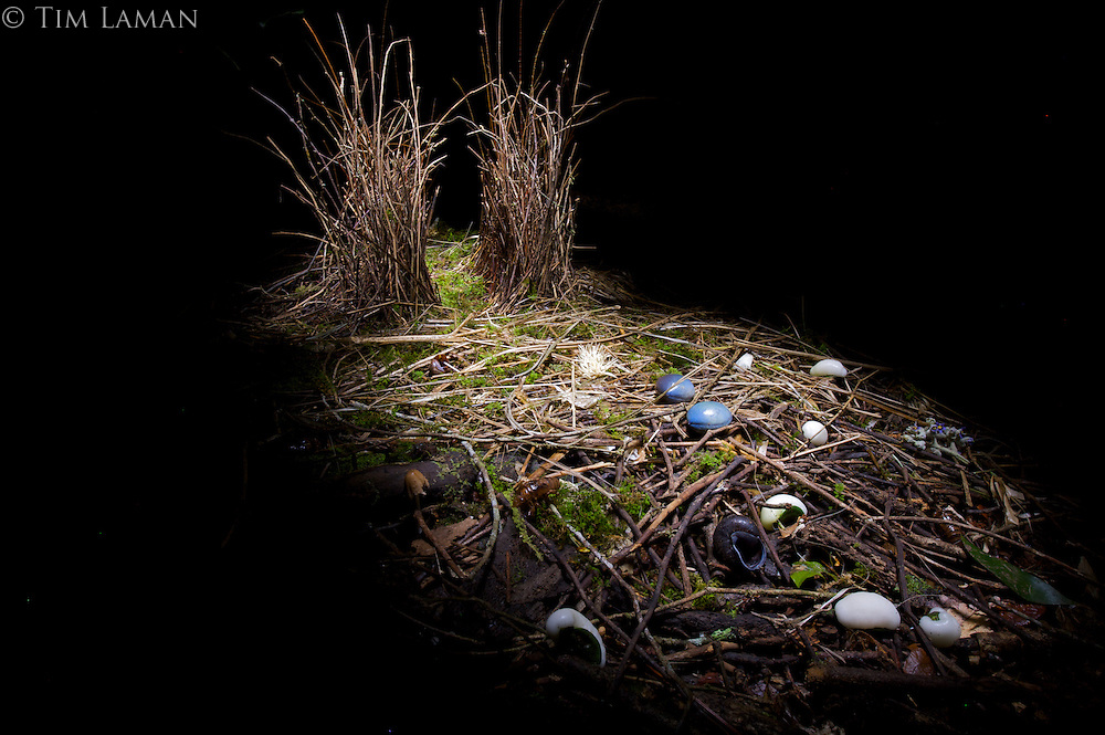Bower of a Satin Bowerbird (Ptilonorhynchus violaceus minor) in the rain forest of the Atherton Tablelands.  This bower is decorated with all natural objects including moss, fruits, snail shells, and cicada cases...Queensland, Australia..Photographed at night using light painting with a flashlight/torch.