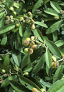 Loquat Eriobotrya japonica (Rosaceae) HEIGHT to 10m <br /> Small evergreen tree or large shrub. BARK Grey-buff. BRANCHES Thick, with hairy twigs. LEAVES To 25cm long, elliptical, toothed with distinct veins; leathery, glossy-green above, downy reddish-brown below. REPRODUCTIVE PARTS Flowers white, to 1cm across, in branched, downy terminal spikes. Fruits rounded, yellow, fleshy, to 6cm long. STATUS AND DISTRIBUTION Native of China, introduced here for ornament but not hardy.