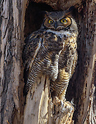 Great Horned Owl, Boulder County, Colorado