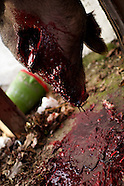 011413 tradiciontal pig slaughter