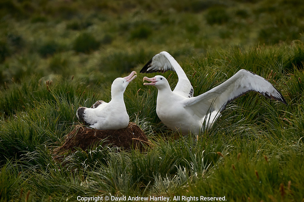 Wondering Albatross (Diomedea exulans),.Prion Island, Bay of Isles, South Georgia Island, South Atlantic Ocean