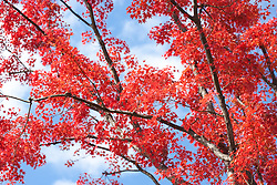 Red Japanese Maple tree, Honshu, Japan