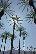 Date Palm Tree, California palm tree s, CA, Fan Palm, native, Arecaceae, Palmae, Palmaceae