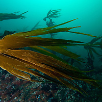 Kelp, Laminaria hyperborea<br /> Atlantic marine life, Saltstraumen, Bod&ouml;, Norway