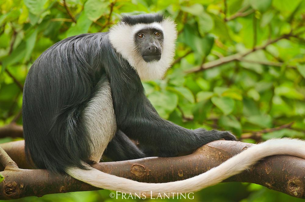 Black-and-white Colobus monkey, Colobus vellerosus, Boabeng-Fiema Monkey Sanctuary, Ghana