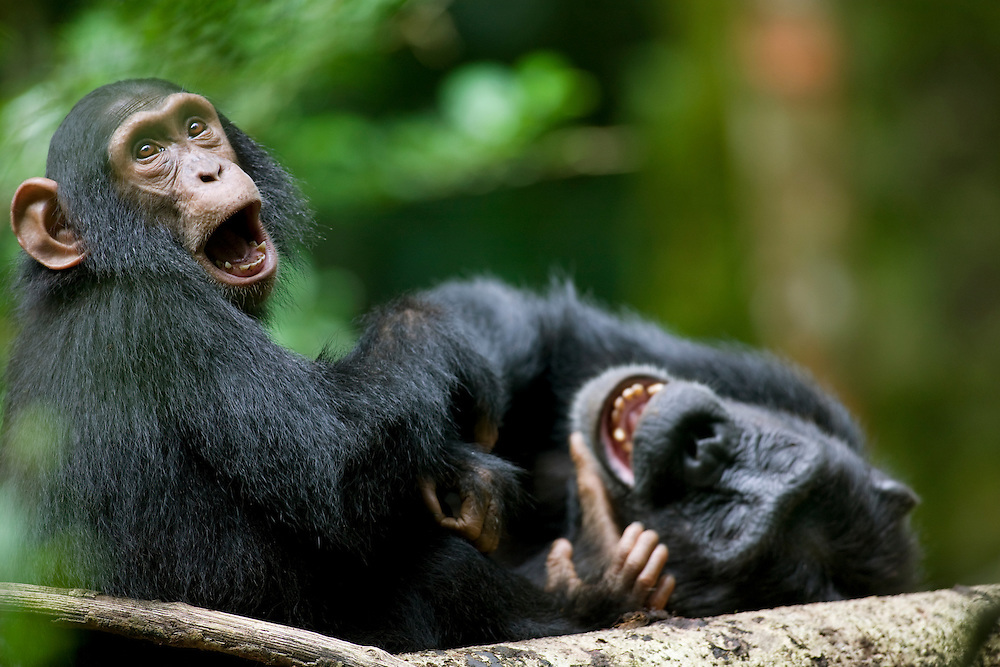 Africa, Uganda, Kibale Forest Reserve, Juvenile Chimpanzee (Pan troglodytes) playing with adult in rainforest clearing