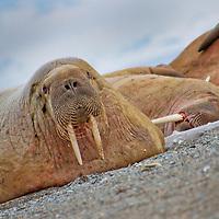 Alberto Carrera, Walrus, Odobenus rosmarus, Arctic, Spitsbergen, Svalbard, Norway, Europe