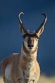 Pronghorn Images