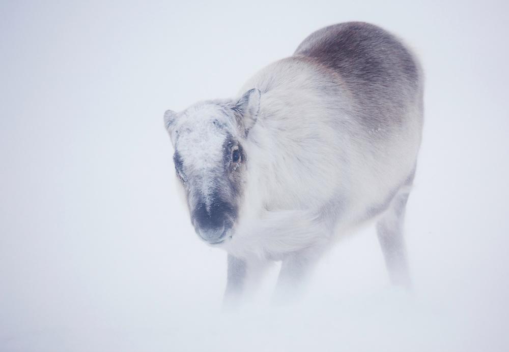Svalbard Reindeer, Rangifer tarandus platyrhynchus, Spitsbergen, Svalbard