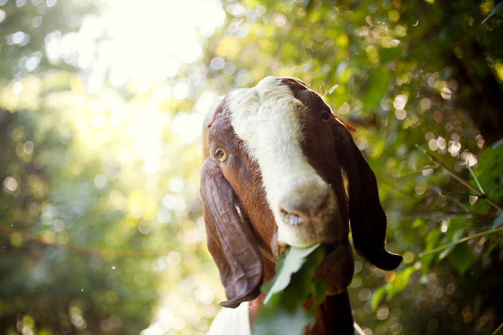 """A goat, of the Boer variety, eats leafy vegetation near a lot-side easement in Chapel Hill, N.C., Thurs., July 22, 2010. Goat owner Jeff Mullins said, """"They prefer leafy vegetation to grasses, so brush clearing is their real specialty.""""..D.L. Anderson for The Wall Street Journal..GOATS"""