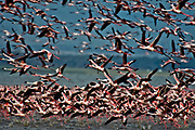 Lesser Flamingos (Phoeniconaias minor) taking off from Lake Nakuru, Kenya.
