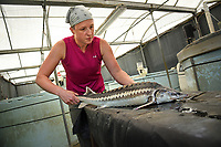 Research technician Adrienne Ratti checks on sturgeon at the Mountain Horticultural Research and Extension Center in Henderson County.