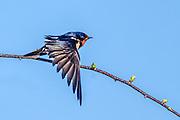 Barn Swallow - Hirundo rustica in flight