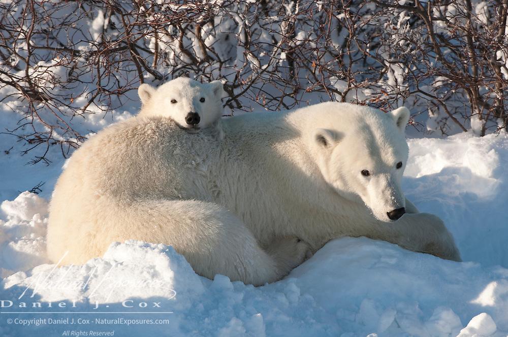 Polar Bear mother and cub. Hudson Bay, Manitoba, Canada