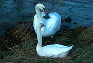 DEU, Germany, mute swans (lat. Cygnus olor)....DEU, Deutschland, Hoeckerschwaene (lat. Cygnus olor)......