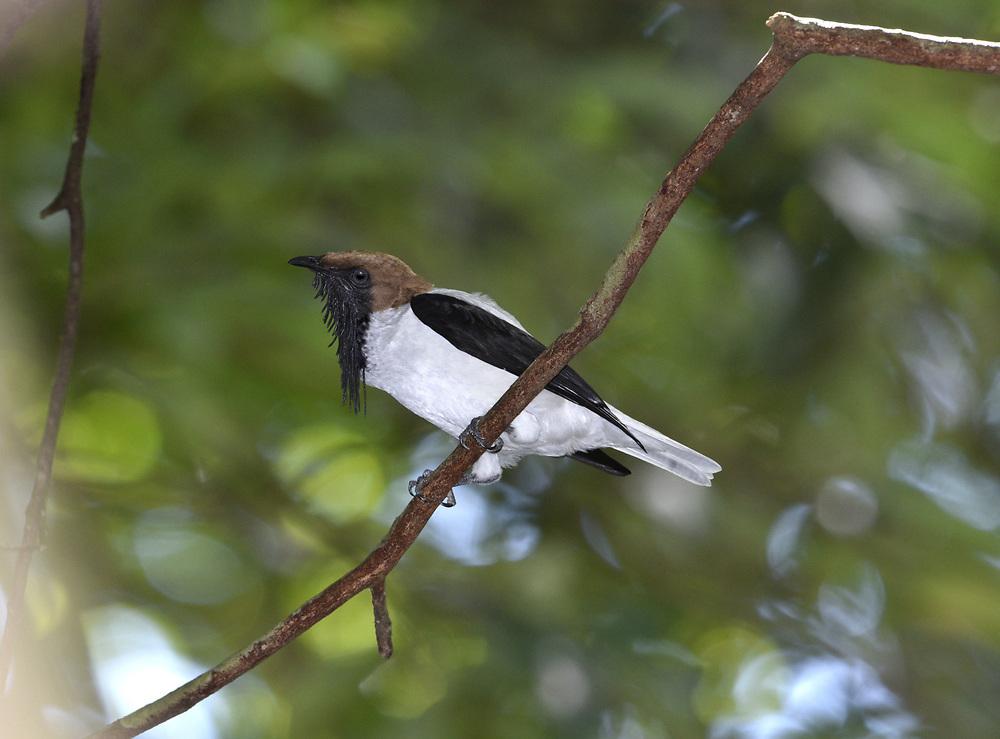 Bearded Bellbird - Procnias averano