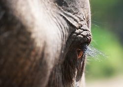 Asian Elephant (Elephas maximus) in India
