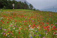 MIEMING - Tirol Oostenrijk ,  -  wilde bloemen bij  hole 13    Golf Park Mieminger Plateau.   COPYRIGHT KOEN SUYK