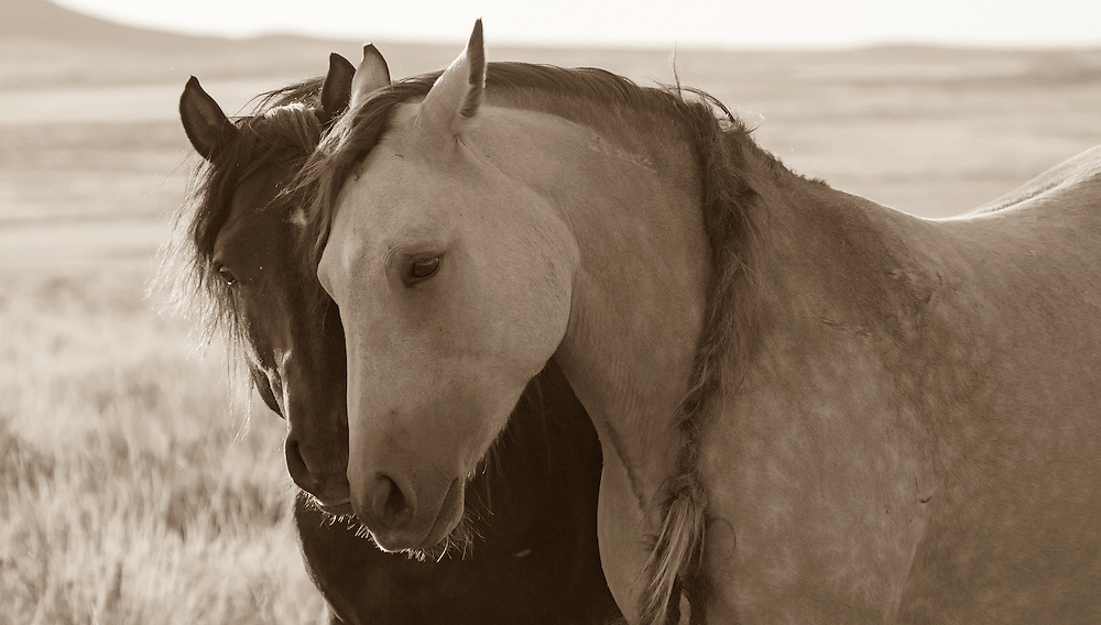 The band stallion, Two Socks, lovingly nuzzles his beautiful buckskin mare, Tequila.