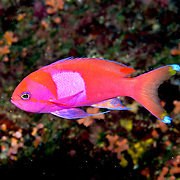 Squarespot Anthias inhabit reefs. Picture taken Palau.