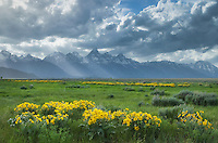 Meadows of Balsamroot (Balsamorhiza sagittata) at Antelope Flats, Grand Teton National Park Wyoming