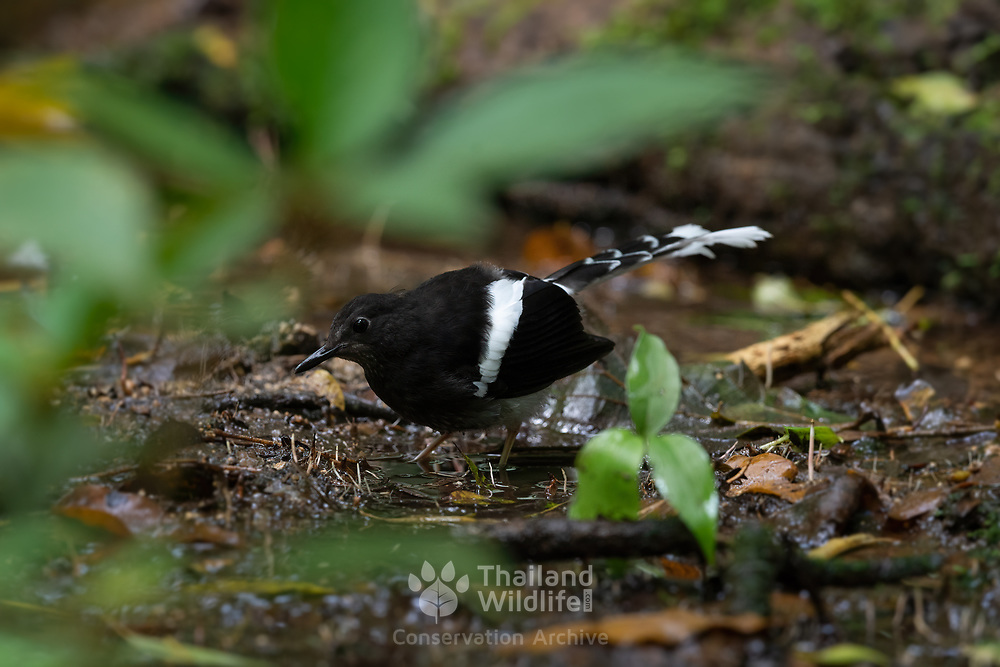 The white-crowned forktail (Enicurus leschenaulti) is a species of forktail in the family Muscicapidae. It is the largest of the forktails. This photograph is of a juvenile which lacks the white crown during its early development.