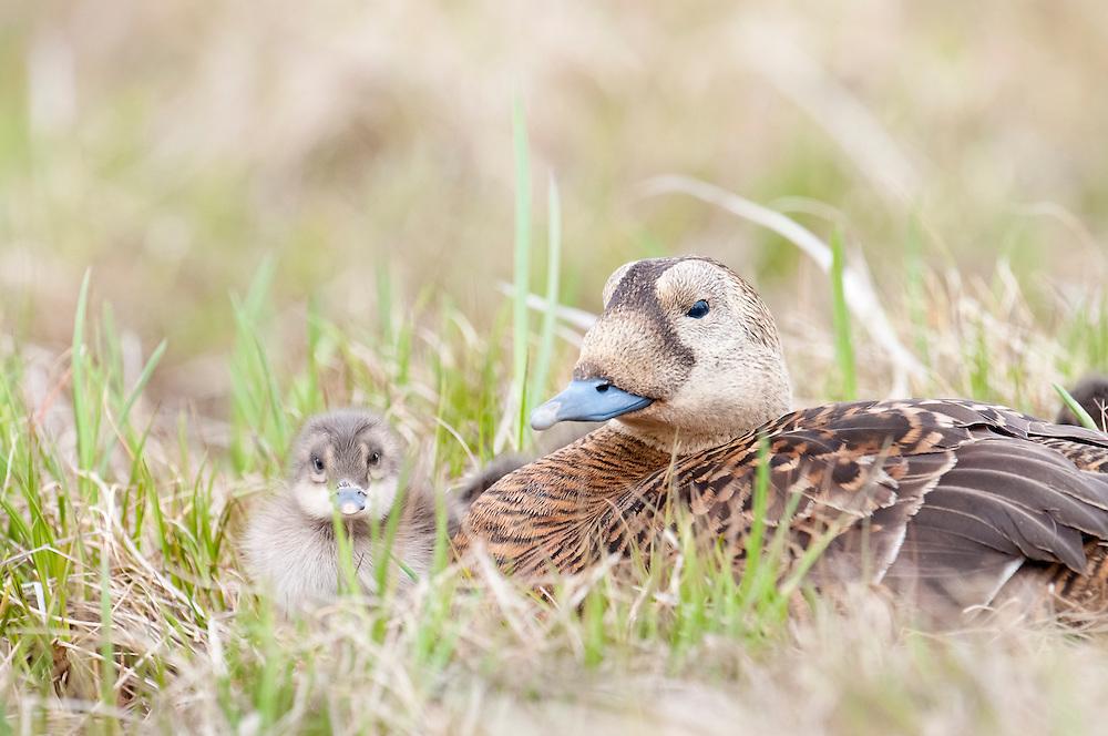 Spectacled Eiders, Somateria fischeri, female with ducklings, Yukon Kuskokwim Delta NWR, Alaska