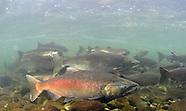 Chinook Salmon, Underwater