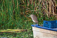 Black-crowned Night Heron - immature  (Nycticorax nycticorax) perched on end of fishing boat, Lake Chapala, Ajijic, Jalisco, Mexico.
