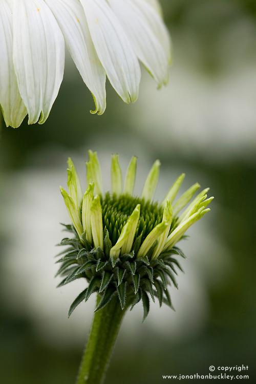 Echinacea purpurea 'Jade'