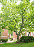 college green, MappAthens, summer, Tree Tour, yellowwood