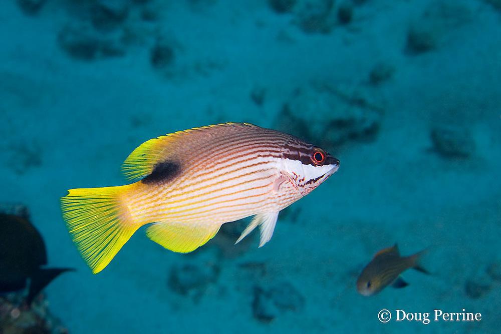 Hawaiian hogfish, Bodianus albotaeniatus, female, endemic to Hawaiian Islands and Johnston Island, Kaloko Arches, Kona, Hawaii ( Central Pacific Ocean )