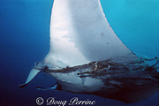 manta ray, Mobula birostris or alfredi, entangled in fishing line and netting, Monad Shoal, off Malapascua Island, Philippines ( Visayan Sea / Western Pacific Ocean )