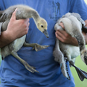 A pair of goslings are held by volunteer Gavin Yates before being banded by group of volunteers, led by members of the Kentucky Department of Fish and Wildlife Resources, at Jacobson Park in Lexington, Ky., on Tuesday July 1, 2014. Around 475 geese were banded at the park and at a farm in Fayette County as part of a population study. Under the direction of the Department of Fish and Wildlife, each year at this time in various locations around the state, when the geese are molting and unable to fly, they are rounded up, banded, their genders identified and quickly released. Photo by David Stephenson