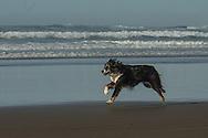 Australian Shepherds love to run!