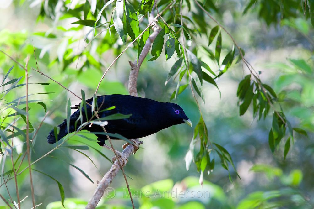 Male Satin Bowerbird, Ptilonorhynchus violaceus, Australia