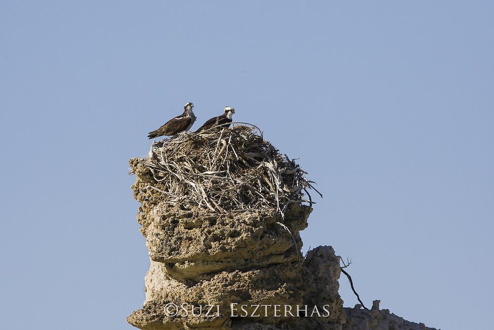 Osprey<br /> Pandion haliaetus<br /> Mono Lake, California