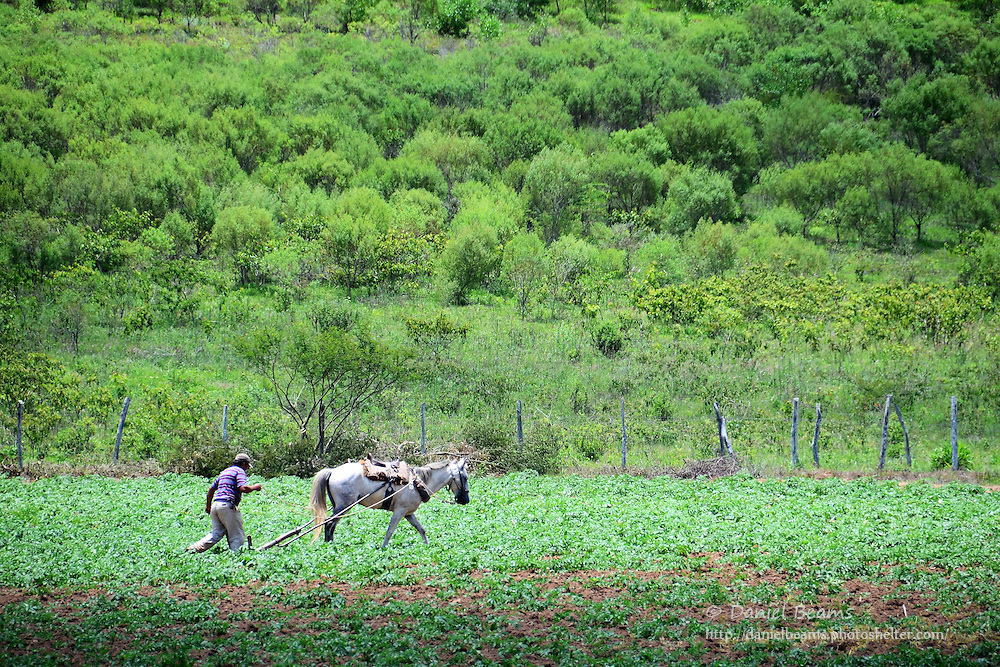 Horse and man plowing a potato field near Samaipata, Bolivia