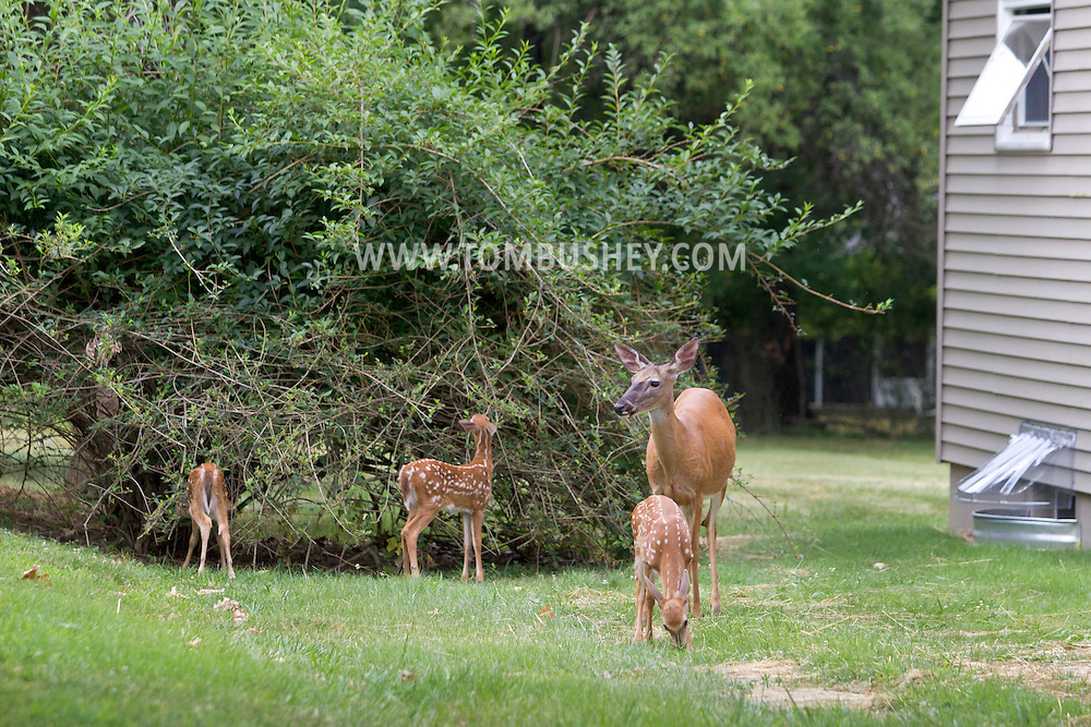 Middletown, New York - A group of white-tailed deer, including fawns, feed in the yard of a suburban home on July 13, 2012.