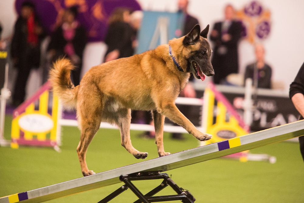 New York, NY - 8 February 2014. Puppy Love, a Belgian Malinois, climbing the seesaw.